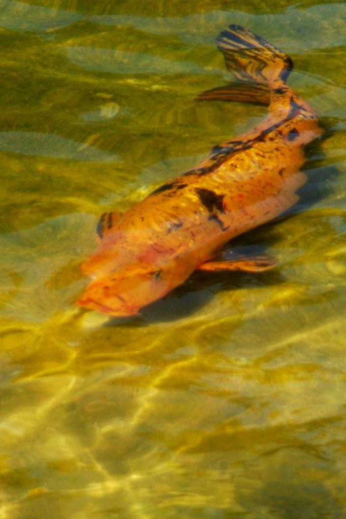 Calico koi orange black koi cyprinus carpio japanese for Japanese friendship garden san jose koi fish