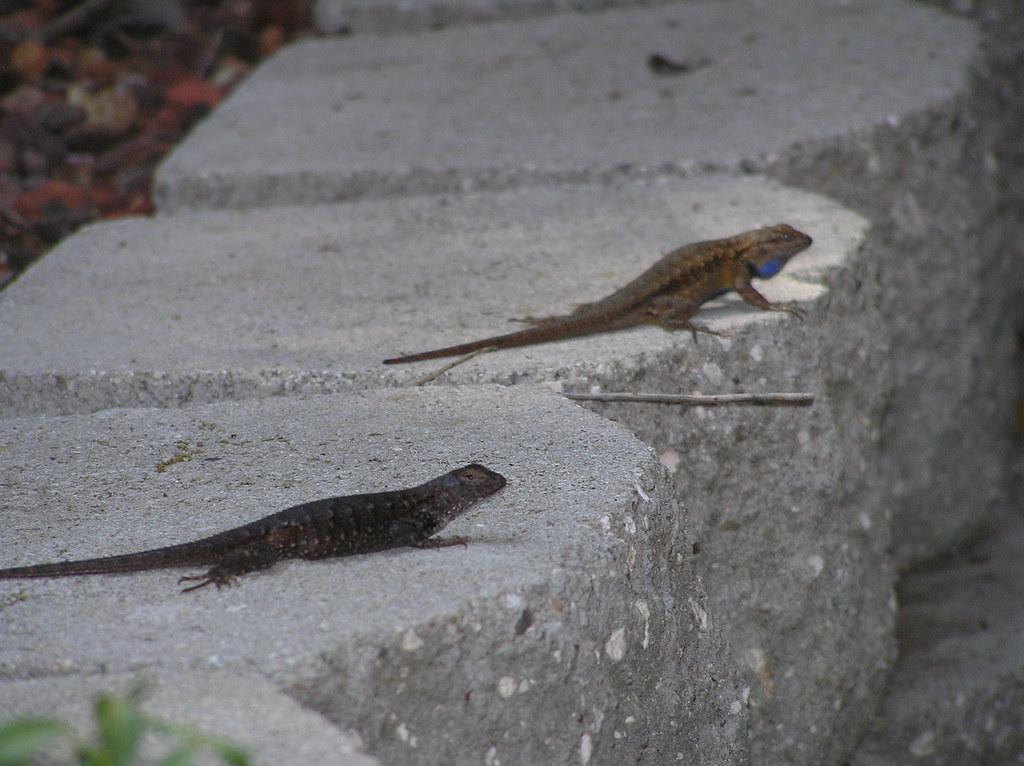Backyard Lizards | Rick Berg | Flickr