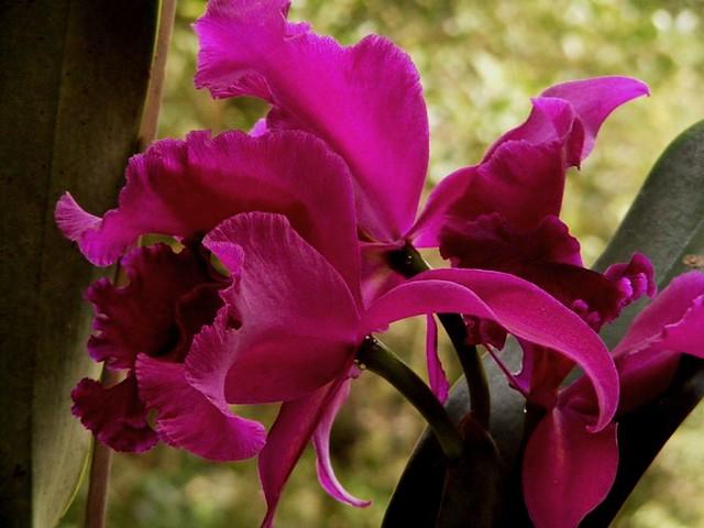 Orquideas guaria morada for Cuidado de las orquideas moradas