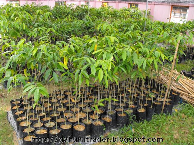 Pokok Gaharu Benih Pokok Gaharu Dlm