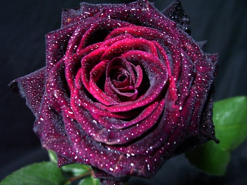 black baccara rose from eden farms david dawes flickr. Black Bedroom Furniture Sets. Home Design Ideas
