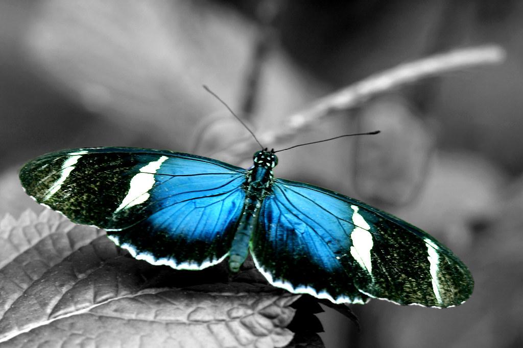 Monarch butterfly  Wikipedia
