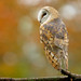 Barn Owl Back