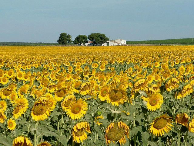 Matrimonio Girasoli Van Gogh : Girasoli campo di ispirato a van gogh luigi
