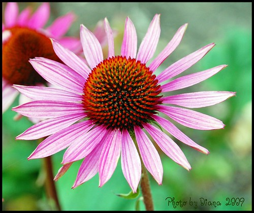 Bold and Beautiful  (Echinacea) | by matlacha