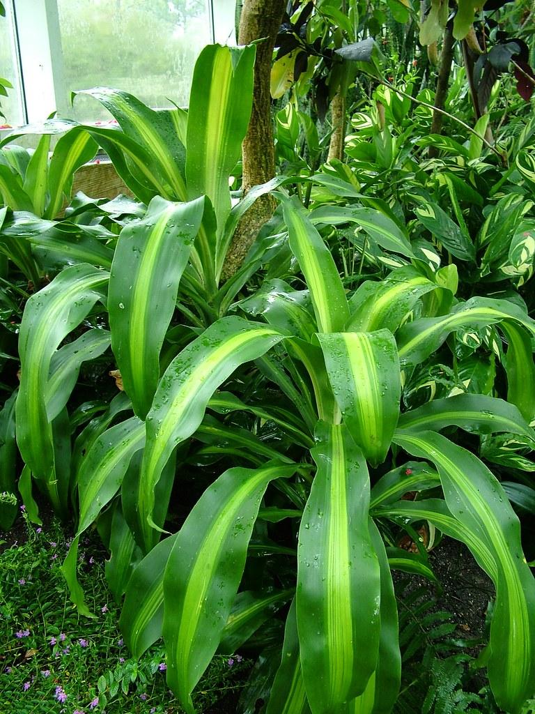 Corn Plant corn plant (dracaena fragrans 'massangeana') | the corn plan… | flickr