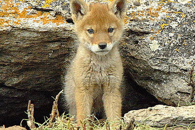 Coyote Cub Coyote Cub Photo By Project Coyote Contra