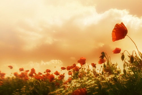 Poppies | by ILINA S.