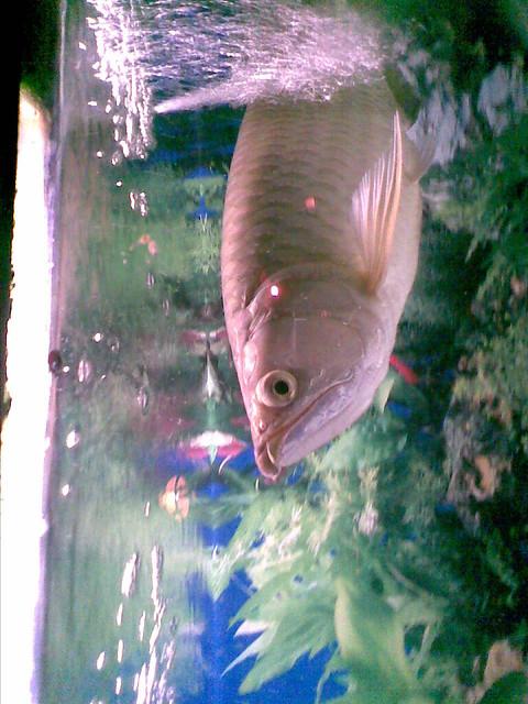 Fish Arwana Inside Aquarium Rakha Adli Nadhiif Flickr
