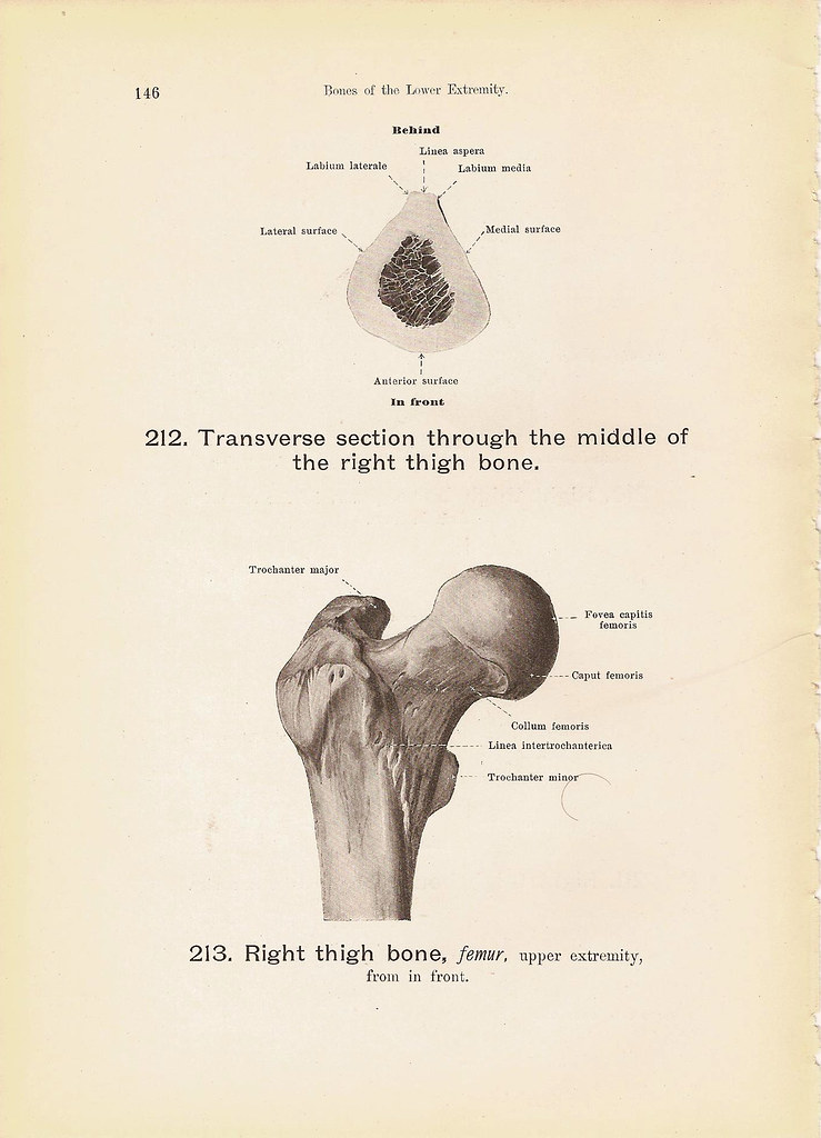 Right Thigh Bone Femur Bones Of The Lower Extremity Anatom Flickr