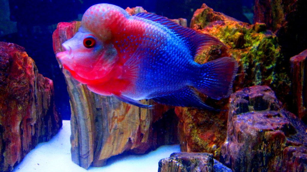 Flower horn fish you never knew i was there all the for Flower horn fish