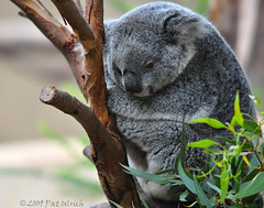 Cuddled Koala at the San Diego Zoo | by Pat Ulrich