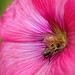 Busy Bee Working The Hollyhock