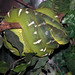 Emerald Tree Snake