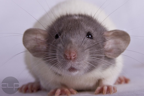 Cute baby dumbo rat - photo#26