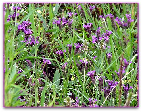 wild purple flowers  vicksburg, mississippi  cameliatwu  flickr, Beautiful flower