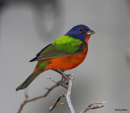 PAINTED BUNTING 4488 | by Mudhen2
