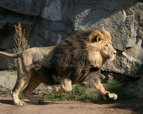 Running Lion | This had been one of the rare occasions ...