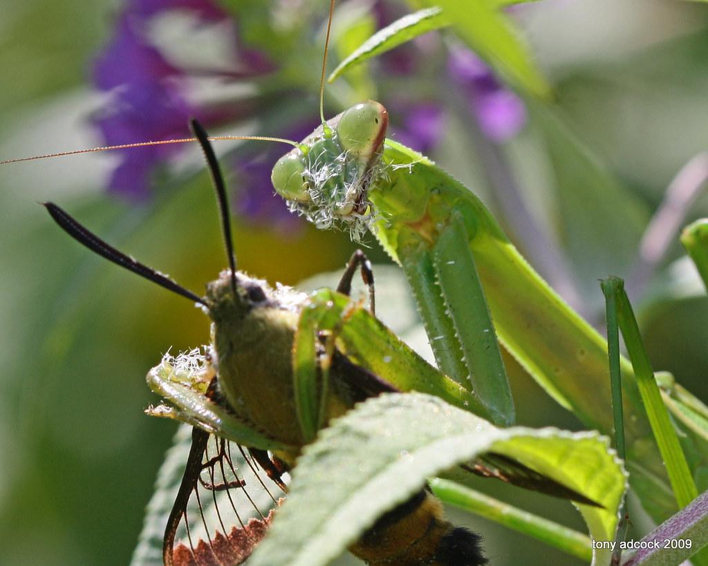 Praying Mantis With Hummingbird Moth I Was Watching This