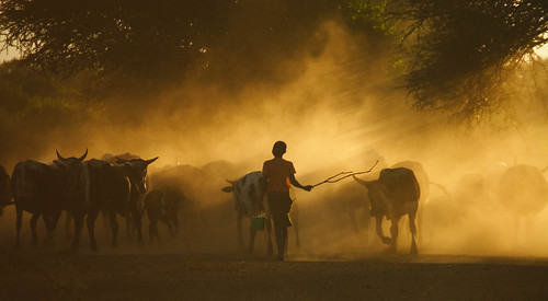 Cattle herded home in the evening in Mozambique | by International Livestock Research Institute
