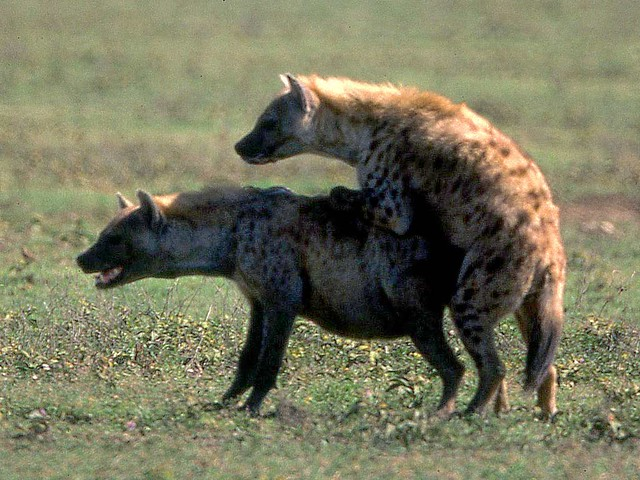 Crocuta Mount Spotted Hyenas Mating Ngorongoro