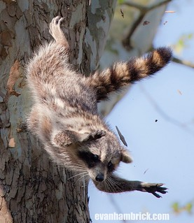Flying Raccoon - Detail & Story & 30 more photos! | by Evan Animals