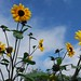 Garden Update 4: Of Mutant Sunflowers and Pumpkins Gone Wild