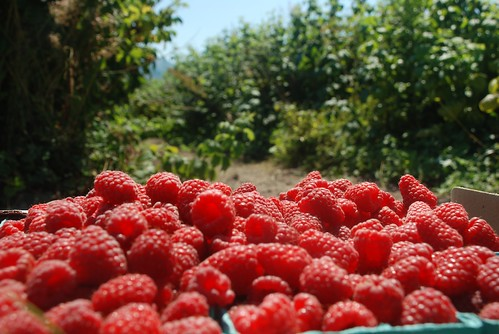 Picked Raspberries | by houseboat eats