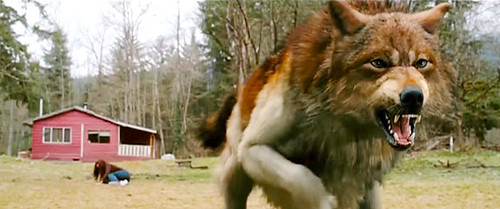 Jacob Black Wolf Form Breaking Dawn Part 2 Jacob Black Wolf Form ...