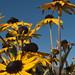 Rudebeckia black eyed susans - Daisy Like Yellow Flowers in the Morro Bay, CA Cloistres City Park 26 Aug 2009