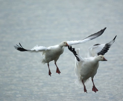 Snow Geese landing | by Mike's Birds