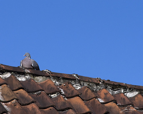pigeon on the roof | by Jan Linskens