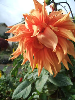 Lion-ish Orange Dahlia | by greenwalksblog