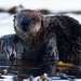 6 of 9 Sea Otter (Enhydra lutris), female, marine mammal, with her baby pup