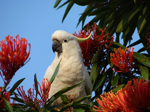 Cockatoo at Waratah-tree | by Tatters ❀