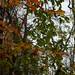 Magnolia virginiana- Sweet-Bay