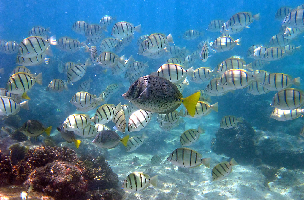 Convict Tang Hawaii Convict Tangs Amp Yellowtail