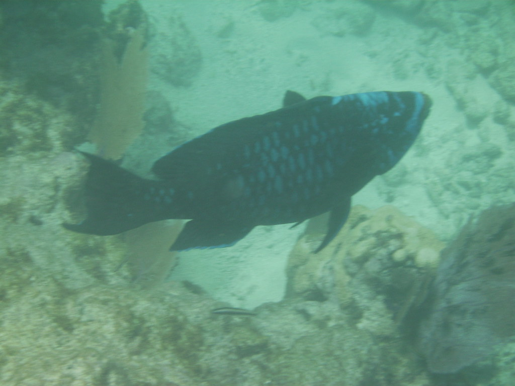 Midnight blue parrot fish parrot fish furykeywest flickr for Blue parrot fish