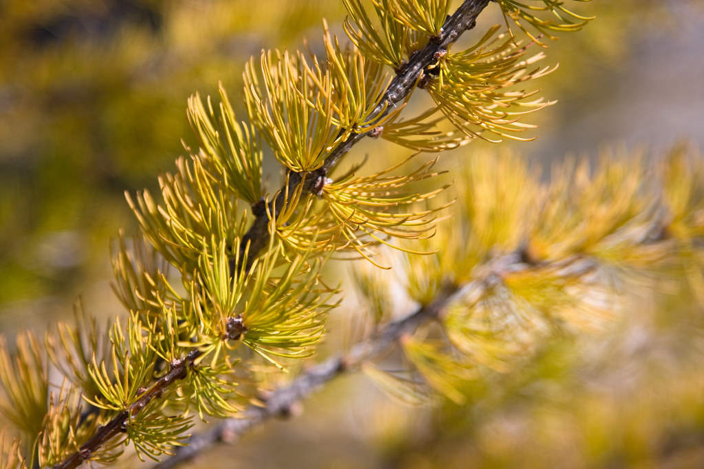 The Turning of the Larch