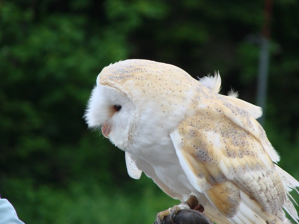 hedwig white owl barn owl tyto alba harry potter theme flickr