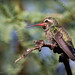 Broad-billed Hummingbird female