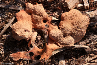 2 Days Later - Fuligo septica - Flowers of Tan,  Dog Vomit Slime Mould | by Black Diamond Images