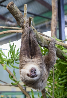 Hoffmann's two-toed sloth Gamboa Wildlife Rescue pandemonio 2017 - 32 | by Eva Blue