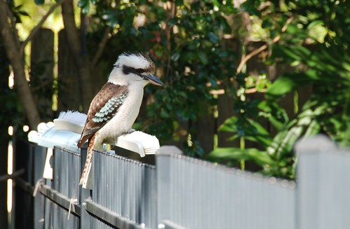 Kookaburra on Our Fence | by flgirlinsydney