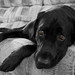 Lounging Pup