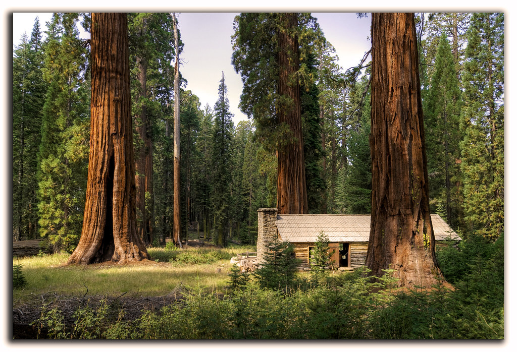 Secuoyas gigantes, giant sequoias.