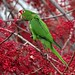 Sunnyvale Parakeets