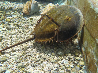 Horseshoe Crab | by keywest aquarium
