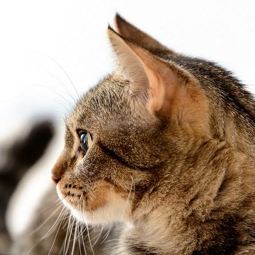 Grace, gata parda moteada guapa super cariñosa esterilizada nacida en Agosto´15, en adopción. Valencia.  32987071105_2238bba4da