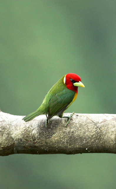 red headed barbet, a serious bird!